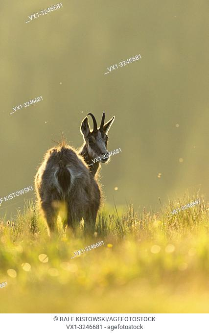 Alpine chamois / Gaemse ( Rupicapra rupicapra ) on a mountain meadow, watching back over its shoulder, sunny backlight