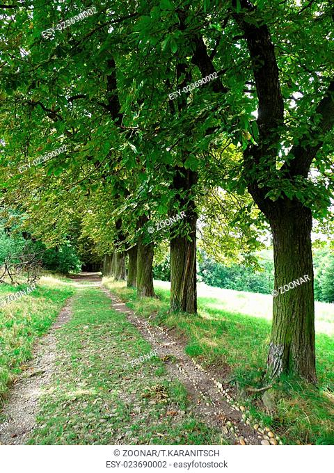 Chestnut lined avenue