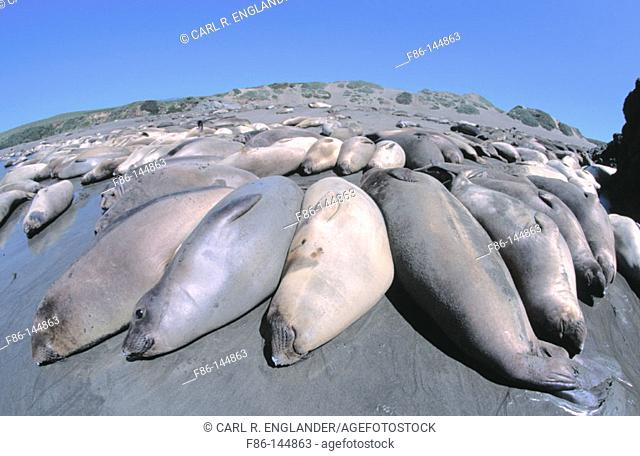 Northern Elephant Seals (mirounga angustirostris) hauled out onto beach, San Luis Obispo County, California, USA