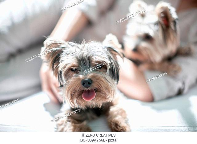 Pet dogs and owner lying on sofa
