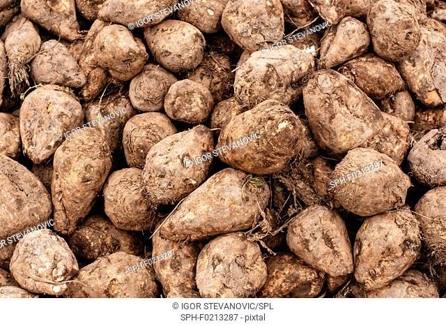 Harvested sugar beet