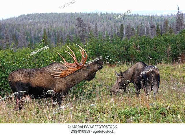 Moose (Alces alces), female and 5-7 year old male. Alaska, USA