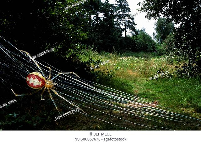 Cobweb Spider (Theridion sp.) in its web in landscape, Belgium