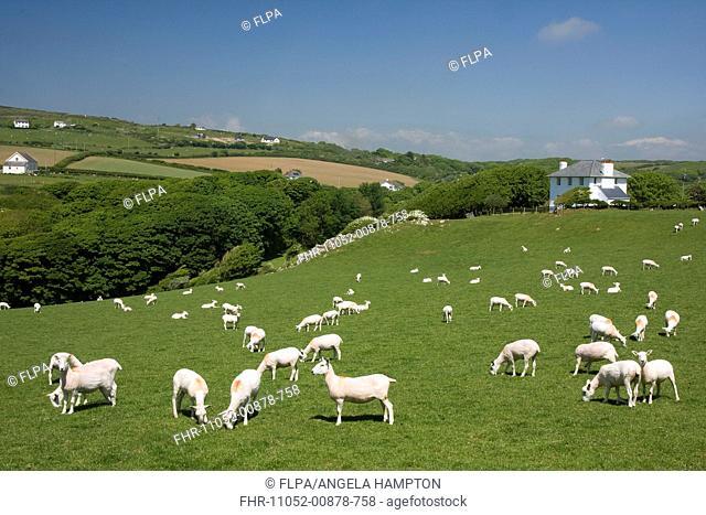 Domestic Sheep, flock, grazing on hillside pasture, Pitton, near Mewslade Bay, Gower Peninsula, Glamorgan, Wales, june