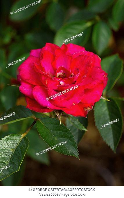 Debidue rose, Heirloom Roses, St Paul, Oregon