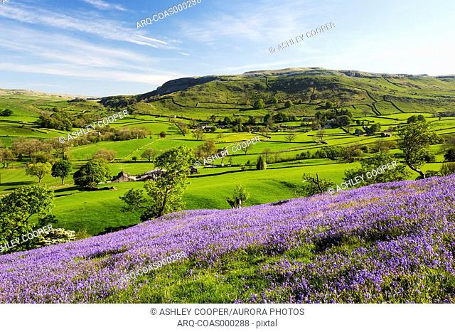 Bluebells growing on a limestone hill in the Yorkshire Dales National Park, UK