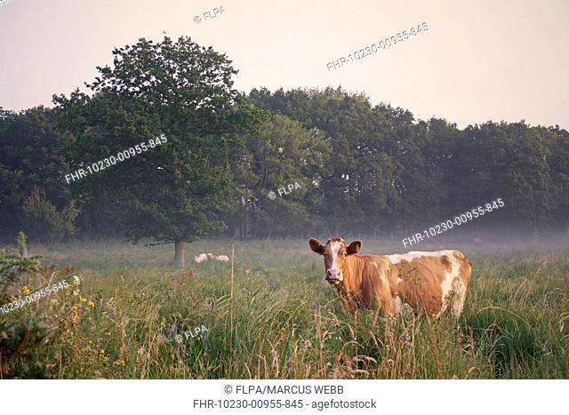 Domestic Cattle, cow, grazing in misty river valley fen meadow habitat at sunrise, used for conservation grazing management on reserve, Middle Fen