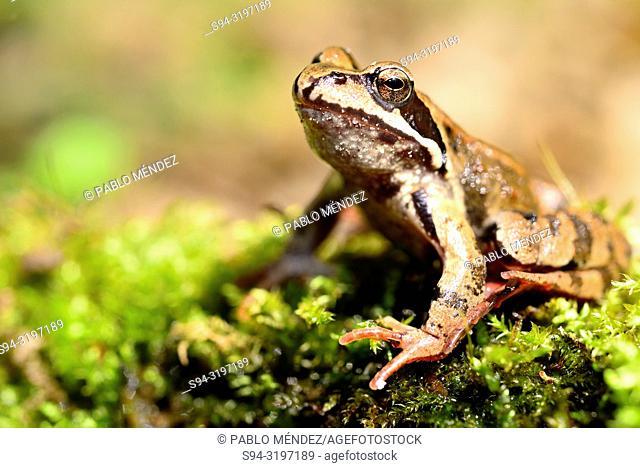 Common frog (Rana temporaria) in Bialowieza forest, Podlasie, Poland
