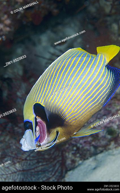 Emperor Angelfish (Pomacanthus imperator) having gills cleaned by a Bluestreak Cleaner Wrasse (Labroides dimidiatus), Nudi Rock dive site, Misool Island