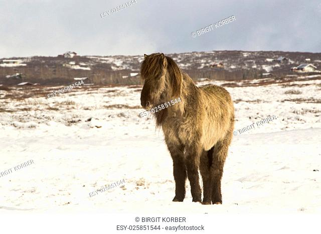 Icelandic horse in wintertime in front of snowy mountains