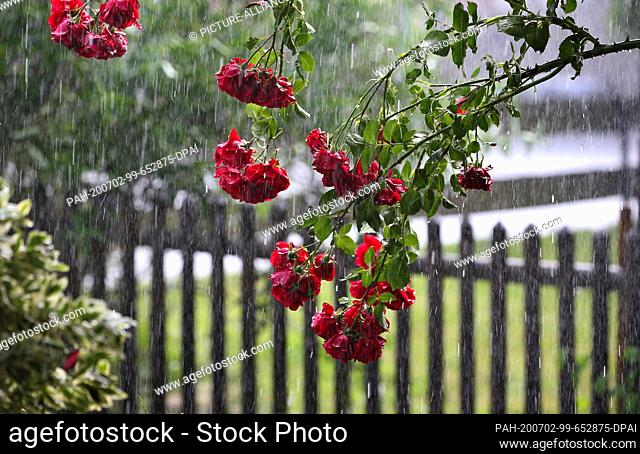 02 July 2020, Bavaria, Kaufbeuren: A rosebush bends under pouring rain. Photo: Karl-Josef Hildenbrand/dpa. - Kaufbeuren/Bavaria/Germany