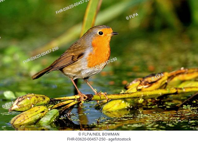 European Robin Erithacus rubecula adult perched above water on Yellow Iris seedhead, Norfolk, England, october