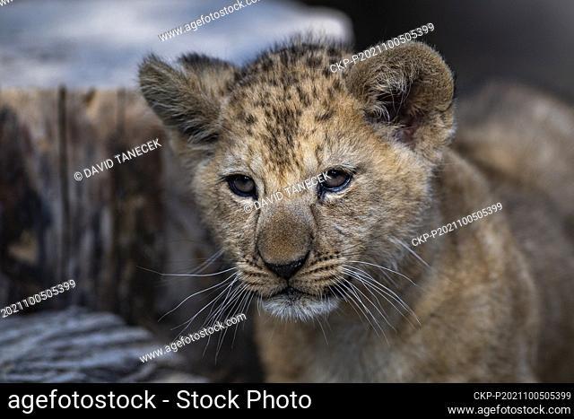 Barbary lion (Panthera leo leo) cub, born on July 20, is seen at the Safari Park Dvur Kralove, on October 5, 2021, in Dvur Kralove nad Labem, Czech Republic