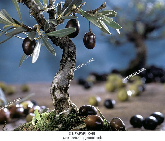 Mini olive tree with black olives