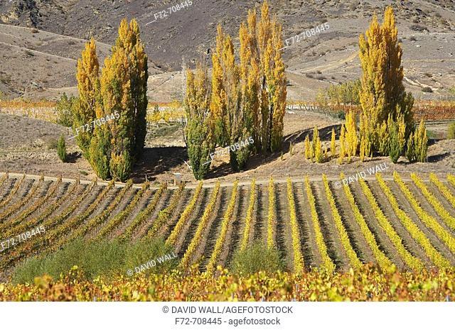 Vineyard and Poplar Trees, Bannockburn, Central Otago, South Island, New Zealand