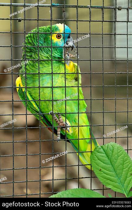 farbintensiver Papagei Blaustirnamazone klettert in Vogelkäfig hoch
