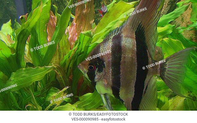 Angelfish in tropical aquarium
