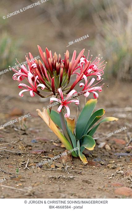 South African crinum lily (Crinum buphanoides), flowering, Kruger National Park, South Africa