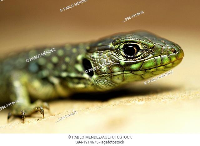Young ocellated lizard Timon lepidus in the wood of Riopar, Albacete province, Spain