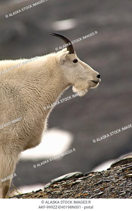 Profile of a young Mountain goat billy grazing on plants near the Harding Icefield Trail at Exit Glacier in Kenai Fjords National Park in Southcentral Alaska