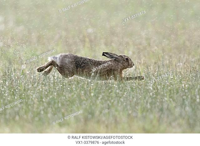 Brown Hare / European Hare / Feldhase ( Lepus europaeus ) on a rainy day in April, running through a wet meadow, stretched jump, wildlife, Europe
