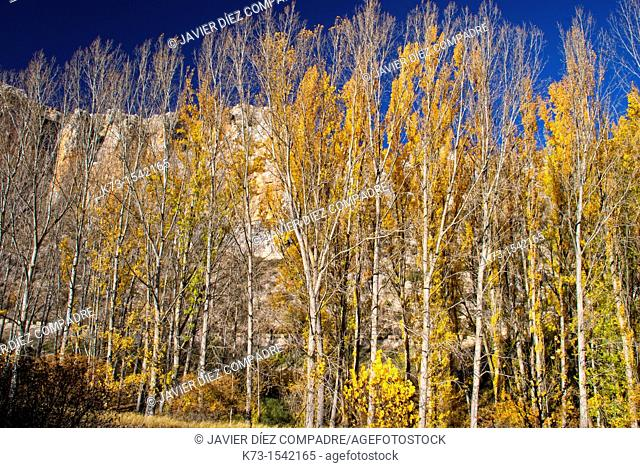 Black Poplars (Populus Nigra). Hoces del Riaza Natural Park. Maderuelo. Segovia province. Castilla y Leon. Spain