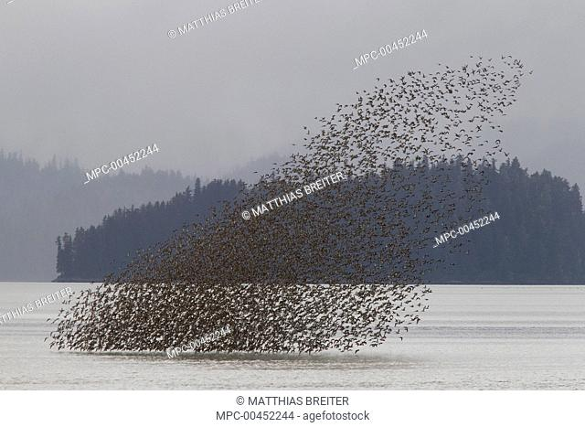 Western Sandpiper (Calidris mauri) flock taking off from Stikine River during spring migration, Alaska