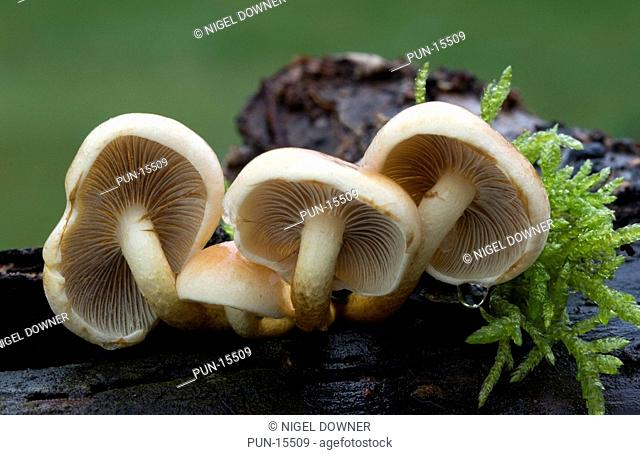 Close-up of a group of sulphur tuft fungi Hypholoma fasciculare showing the inrolled caps and gill structure Growing on a rotting tree stump in a Norfolk wood...