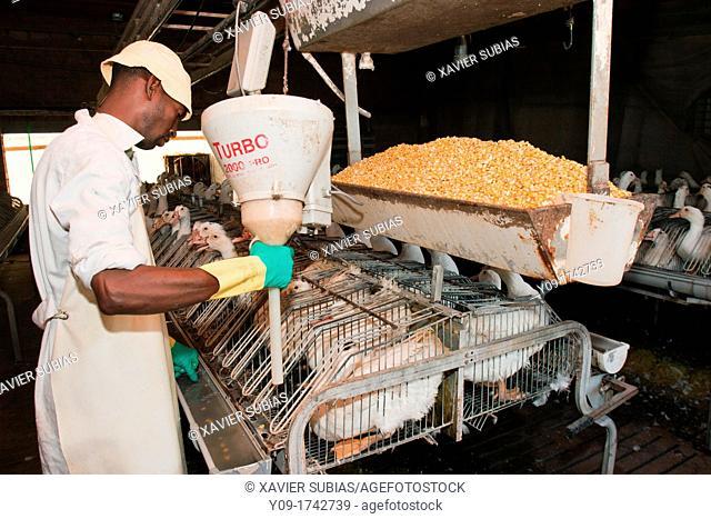 Gavage, Force feeding, Foie gras factory, Preixana, L'Urgell, Catalonia, Spain