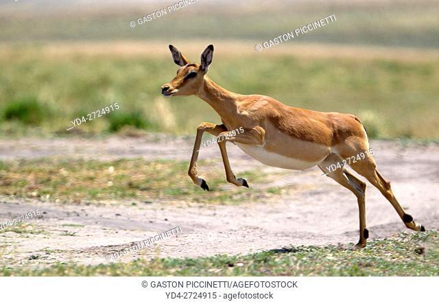 Black-faced impala (Aepyceros melampus petersi), Chobe National Park, Botswana