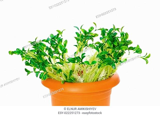 Green saplings growing in the clay pot