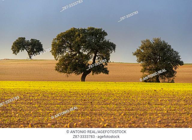 Cereal fields and Holm Oak (Quercus ilex) with storm clouds. Almansa. Albacete province, Castile-La Mancha, Spain
