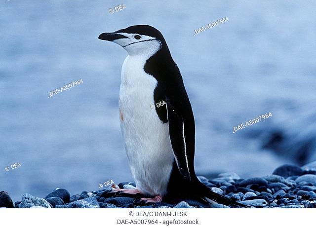 Zoology - Birds - Sphenisciformes - Chinstrap penguin (Pygoscelis antarcticus). Antarctica, Half Moon Island