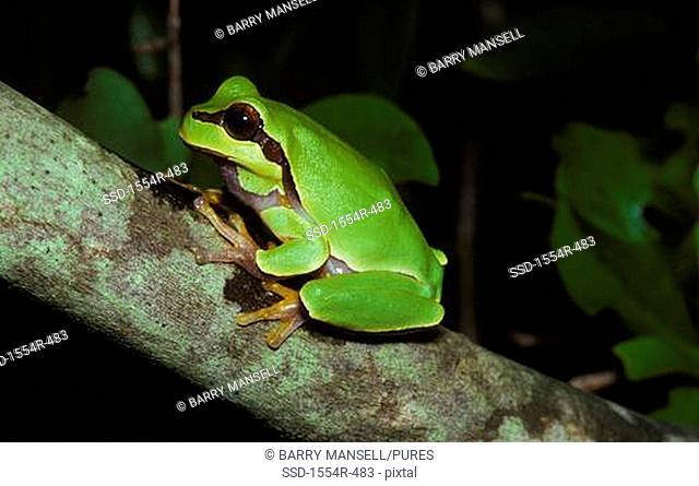 USA, Florida, Okaloosa CO, Bog Frog Rana Okaloosae