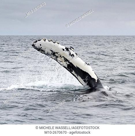 Pectoral fin of a Humpback Whale in the Monterey Bay