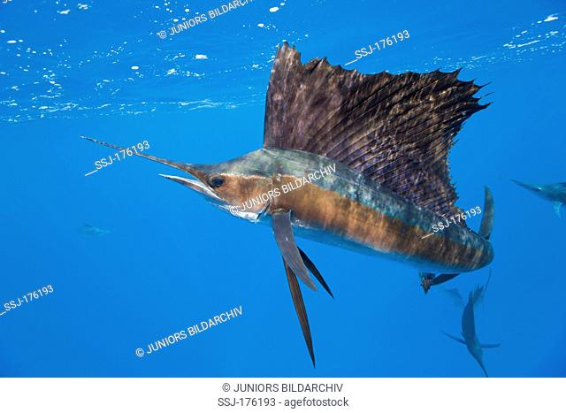 Atlantic Sailfish (Istiophorus albicans) under water