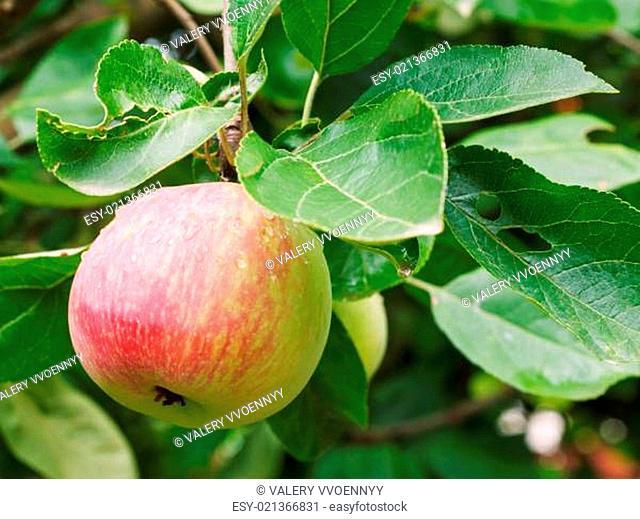 red apple on sprig close up in fruit garden