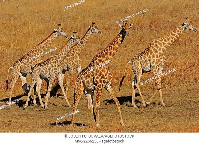 Herd of giraffe on dried pan, Hwange, Zimbabwe, Africa