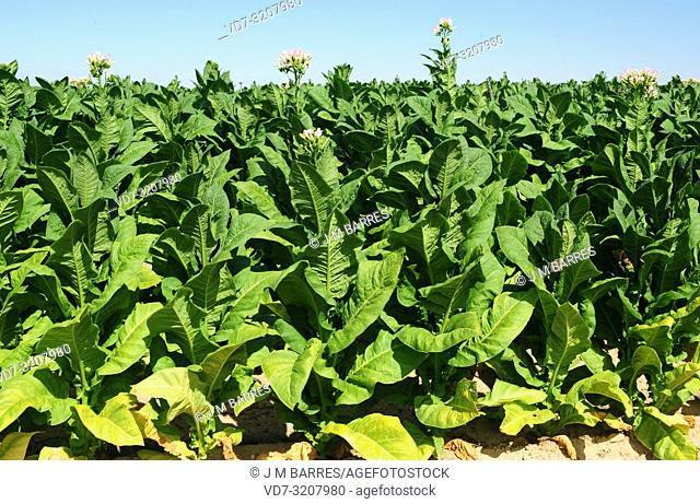 Tobacco (Nicotiana tabacum) is an annual herb native to tropical America but widely cultivated in other temperate regions