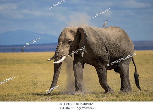 African Elephant (Loxodonta africana). Adults taking a dust bath. Amboseli National Park, Kenya