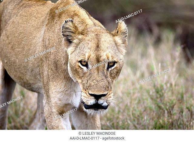 Lioness hunting, Kruger National Park