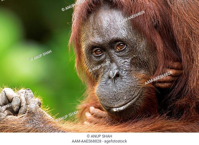 Bornean Orangutan female 'Gara' portrait (Pongo pygmaeus wurmbii). Camp Leakey, Tanjung Puting National Park, Central Kalimantan, Borneo, Indonesia