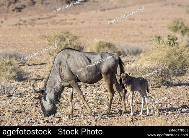 Wildebeest or Gnu with a newly born baby near the Sesriem Canyon in the Sossusvlei area, Namib-Naukluft National Park in Namibia