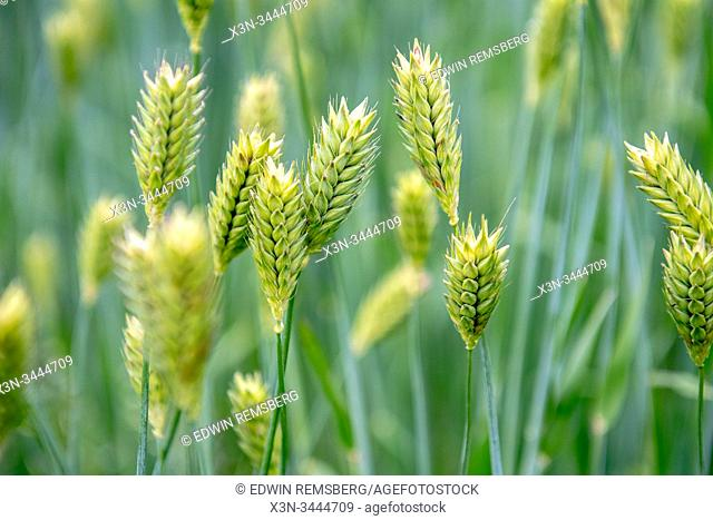 Heads of barley growing, Middletown, Maryland