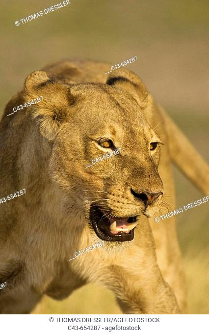 Lion (Panthera leo). Aggressive posture of a lioness. Chobe National Park, Botswana