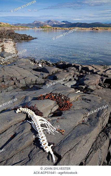 Seal skeleton, Sallikuluk, Rose Island, in Saglek Bay, Torngat Mountains, northern Labrador, Canada