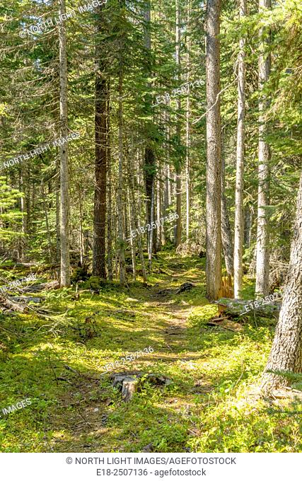 Canada, BC, Smithers. Rough trail through the woods at Silverthorne Forestry Recreation Site in central BC. Forest consisting of primarily pine trees