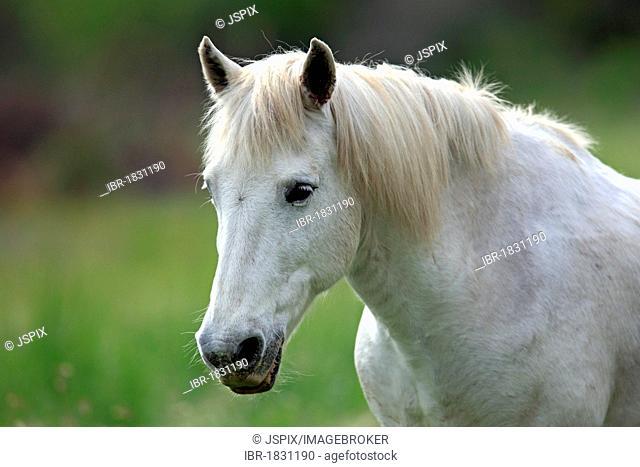 Camargue horse (Equus caballus) mare, portrait, Saintes-Marie-de-la-Mer, Camargue, France, Europe