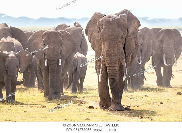 Herd of Elephants at Amboseli National Park, formerly Maasai Amboseli Game Reserve, is in Kajiado District, Rift Valley Province in Kenya