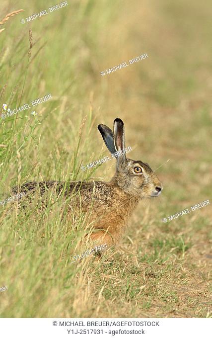 European brown hare (Lepus europaeus), Hesse, Germany, Europe